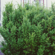 Taxus x media 'Hicksii'