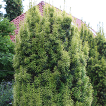 Taxus x media 'Stefania'®