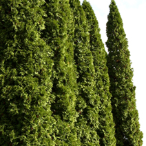 Thuja occidentalis 'Malonyana' 1