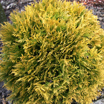 Thuja occidentalis 'Amber Glow'  5