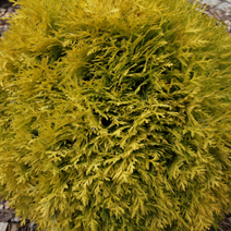 Thuja occidentalis 'Amber Glow'  4