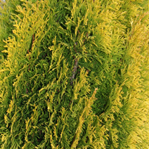 Thuja occidentalis 'Filips Magic Moment'® 5