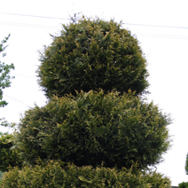 Thuja occidentalis 2