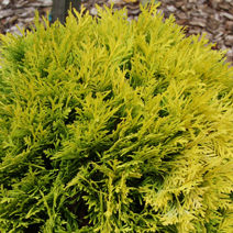 Thuja occidentalis 'Amber Glow'  2