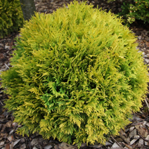 Thuja occidentalis 'Amber Glow'  3
