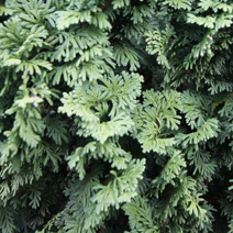 Thuja occidentalis 'Brobeck's Tower' 2