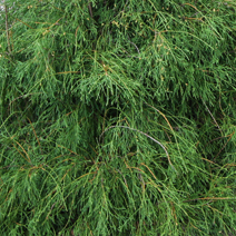 Thuja occidentalis 'Filiformis'