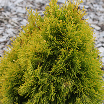 Thuja occidentalis 'Filips Magic Moment'® 2