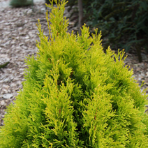 Thuja occidentalis 'Filips Magic Moment'® 1