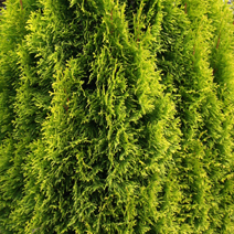 Thuja occidentalis 'Filips Magic Moment'® 3