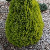 Thuja occidentalis 'Janed Gold' ® ('Golden Smaragd')