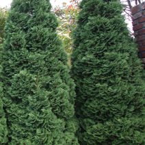 Thuja occidentalis 'Holmstrup' 2