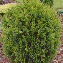Thuja occidentalis 'Hoveyi' 1