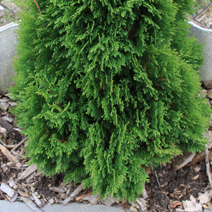 Thuja occidentalis 'Miky' 2