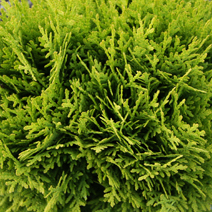 Thuja occidentalis 'Mirjam'