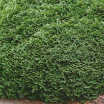 Thuja occidentalis 'Recurvata'