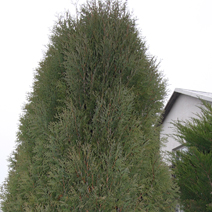 Thuja occidentalis 'Wagnerii' 2