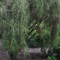 platycladus orientalis 39 balaton 39 thuja or 39 balaton. Black Bedroom Furniture Sets. Home Design Ideas