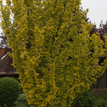 Ulmus hollandica 'Wredei' 1
