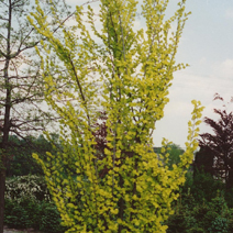 Ulmus hollandica 'Wredei' 2