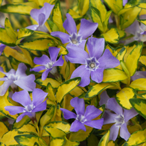 Vinca minor 'Illumination' 2