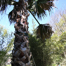 Washingtonia filifera 1