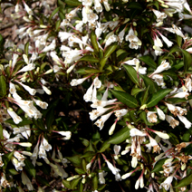 Weigela 'Black and White'