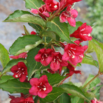 Weigela 'Courtared' (W. 'Lucifer') ® 1