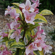 Weigela florida 'Magical Rainbow' (W. fl. 'Kolmagira') 6