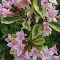 Weigela florida 'Magical Rainbow' (W. fl. 'Kolmagira') 7