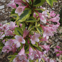 Weigela florida 'Magical Rainbow' (W. fl. 'Kolmagira') 8