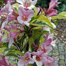 Weigela florida 'Magical Rainbow' (W. fl. 'Kolmagira') 5
