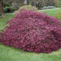 Acer palmatum 'Crimson Queen' 1