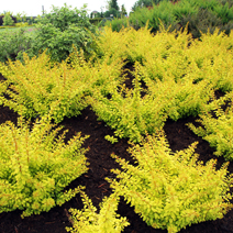 Berberis thunbergii 'Golden Carpet' 3