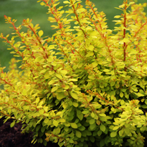 Berberis thunbergii 'Golden Carpet'