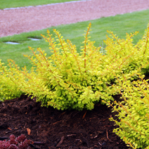 Berberis thunbergii 'Golden Carpet' 2