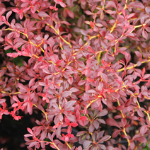 Berberis thunbergii 'Orange Dream' PBR 6