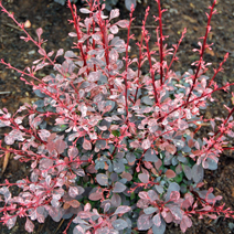 Berberis thunbergii 'Pink Queen' 4