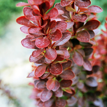 Berberis thunbergii 'Red Torch' PRB