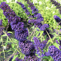 Buddleja davidii 'Black Knight' 1