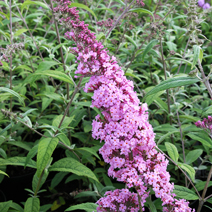 Buddleja davidii 'Summer Beauty' 4