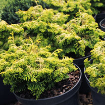 Chamaecyparis obtusa 'Golden Ceramic' 2