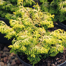 Chamaecyparis obtusa 'Golden Ceramic' 3