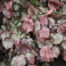 Corylus avellana 'Red Majestic' PBR