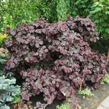 Corylus avellana 'Red Majestic' PBR 2