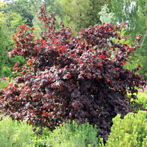 Corylus avellana 'Red Majestic' PBR 3