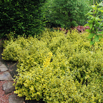 Euonymus fortunei 'Emerald'n Gold' 4