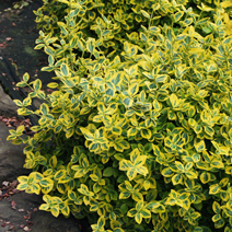 Euonymus fortunei 'Emerald'n Gold' 1