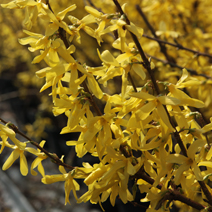 Forsythia x intermedia 'Week-End' ® (F. x int. 'Courtalyn') 6