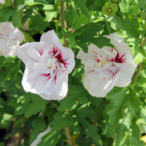 Hibiscus syriacus 'French Point' PBR 5
